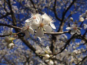 Mirabelletræ-blomstrer